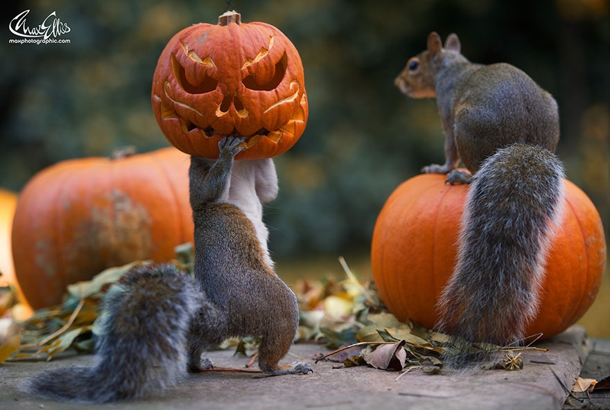 [squirrel-steals-carved-pumpkin-max-ellis-1%5B4%5D]