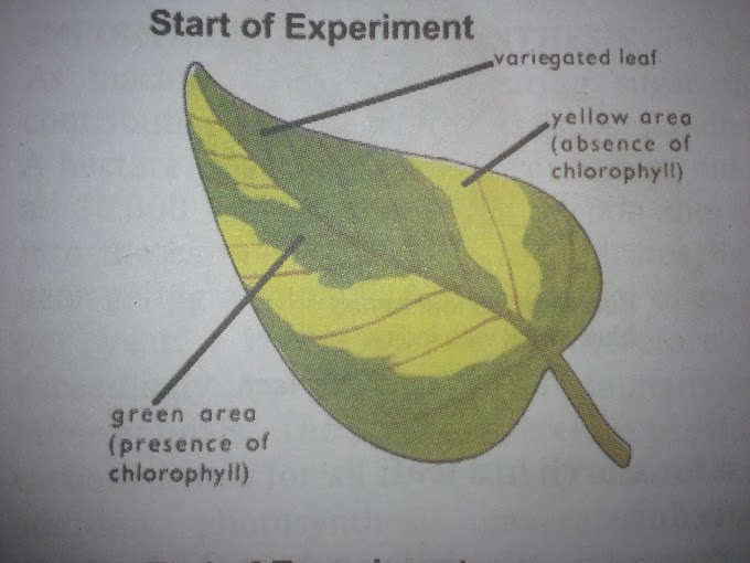 Experiment To Show That Chlorophyll Is Necessary For Photosynthesis.