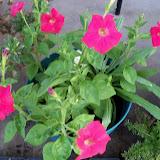 Gardening 2012 - 115_2349.JPG