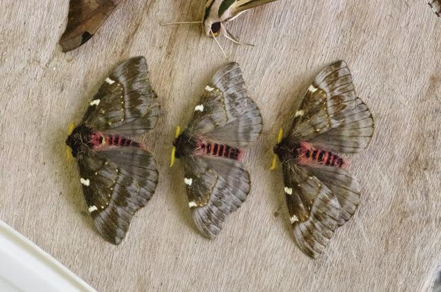Hemileucinae : Paradirphia semirosea (Walker, 1855) ou P. talamancaia Brechlin & Meister, 2010, mâles. Mount Totumas, 1900 m (Chiriqui, Panamá), 21 octobre 2014. Photo : J.-M. Gayman