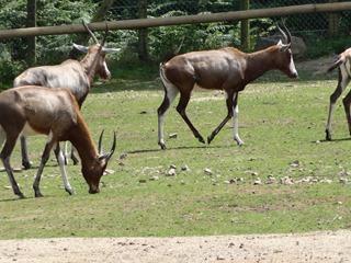 2016.07.31-013 oryx algazelle