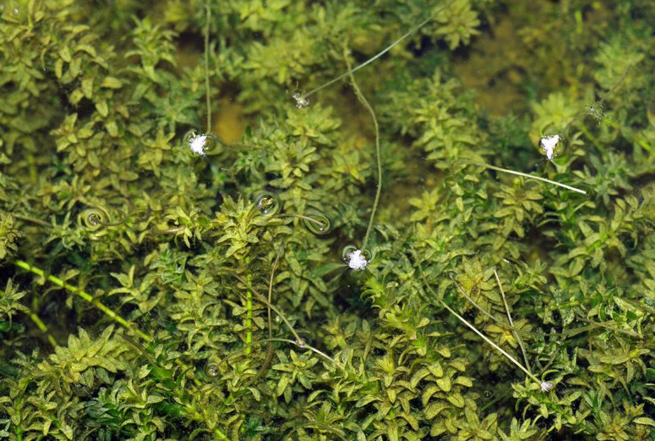 Элодея канадская (Elodea canadensis)