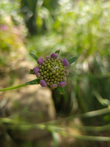 scabiosa cretica bloom