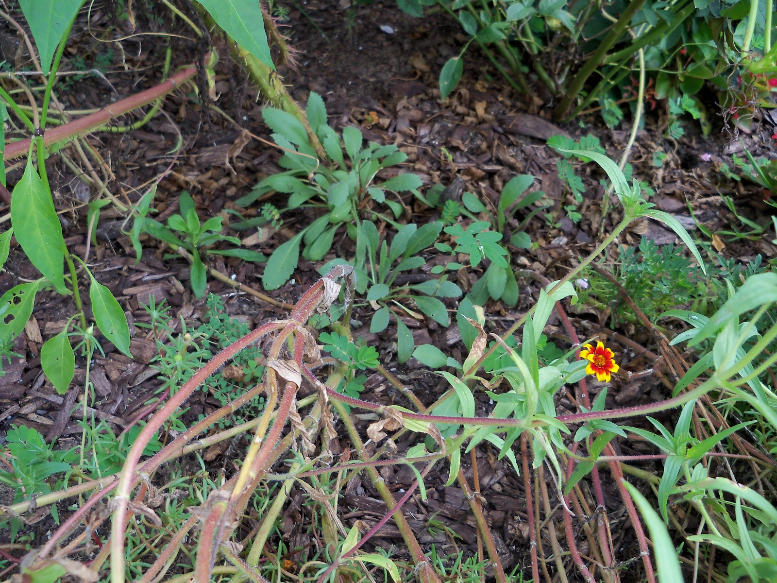 Gardening 2010, Part Three - 101_5170.JPG