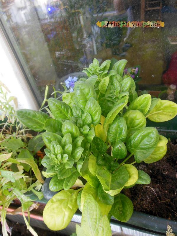 My balcony urban vegetable garden June 2015 in Brussels Spinach