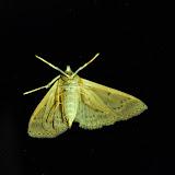 Crambidae : Pyraustinae : Herpetogramma licarsisalis WALKER, 1859, verso. Umina Beach (New South Wales, Australie), 26 mars 2011. Photo : Barbara Kedzierski