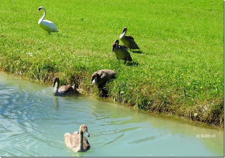 Schwanenkinder ab ins Wasser