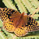 Great Spangled Fritillery