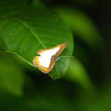 Riodinidae : Nymphidium caricae LINNAEUS, 1758, mâle. Rivière Comté. 23 novembre 2011. Photo : J.-M. Gayman