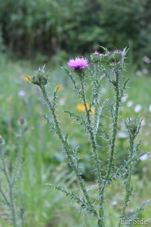Thistle July 2016