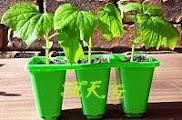 Growing Capsicum (Bell Pepper) Seedling