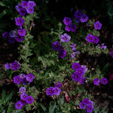 Gardening 2011 - 100_8568.JPG