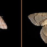 Geometridae : Larentiinae : Eupitheciini : Microdes villosata GUENÉE, 1857 (?). Umina Beach (N. S. W., Australie), 23 novembre 2011. Photo : Barbara Kedzierski