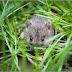 Lahan Pertanian Diserang Hama Tikus, Warga Getas Khawatirkan Produksi Jagung Menurun