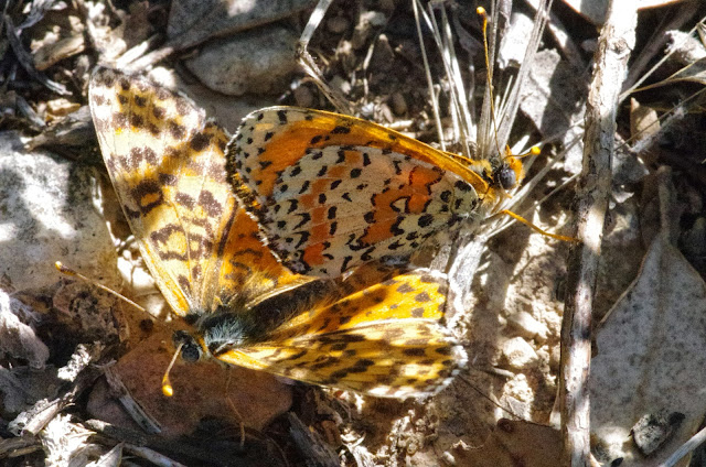 Accouplement de Didymaeformia (Melitaea) didyma meridionalis STAUDINGER, 1861 (mâle à droite). Aix-en-Provence (13, France), 31 juillet 2014. Photo : J.-M. Gayman