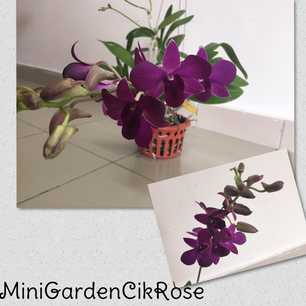 Gambar Bunga Orkid di Mini Garden Cik Rose