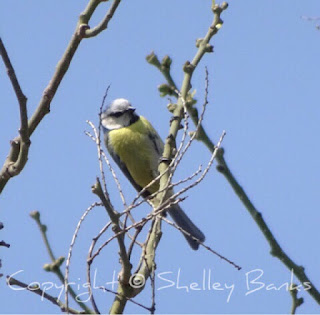 Blue Tit. Paris. Copyright  © Shelley Banks, all rights reserved.