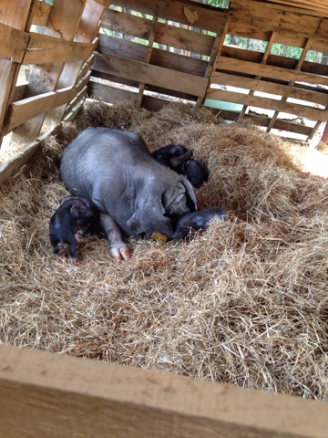 Meishan pigs the perfect homestead pig