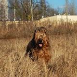 Prince - hodowla_briard (123).jpg