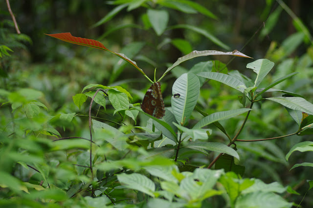 Morpho (Morpho) achilles patroclus C. Felder & R. Felder, 1861. Bosque Bavaria (Villavicencio, Meta, Colombie), 9 novembre 2015. Photo : J.-M. Gayman