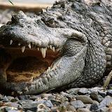 Siamese%20Crocodile,%20Vietnam.jpg