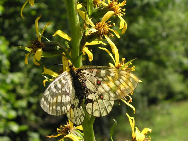 Parnassius (Driopa) eversmanni MÉNÉTRIÈS, 1855, femelle. 10 km au nord de Krasnorechenskij près de Dal'negorsk, 25 juillet 2010. Photo : J. Michel