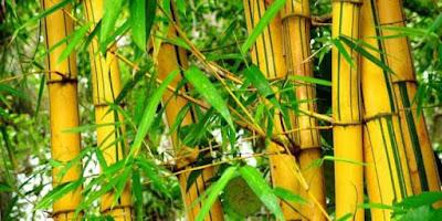 Cara Mengobati Penyakit Kuning: Bonggol Bambu Kuning Bisa Sembuhkan Penyakit Kuning