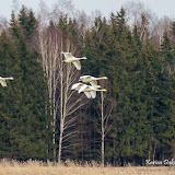Лебедь-кликун (Cygnus cygnus)