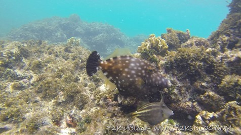 Filefish - Sandy Island - Carriacou