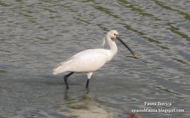 Espátula (Platalea leucorodia) en las Marismas del Parque Natural de Doñana buscando alimento.
