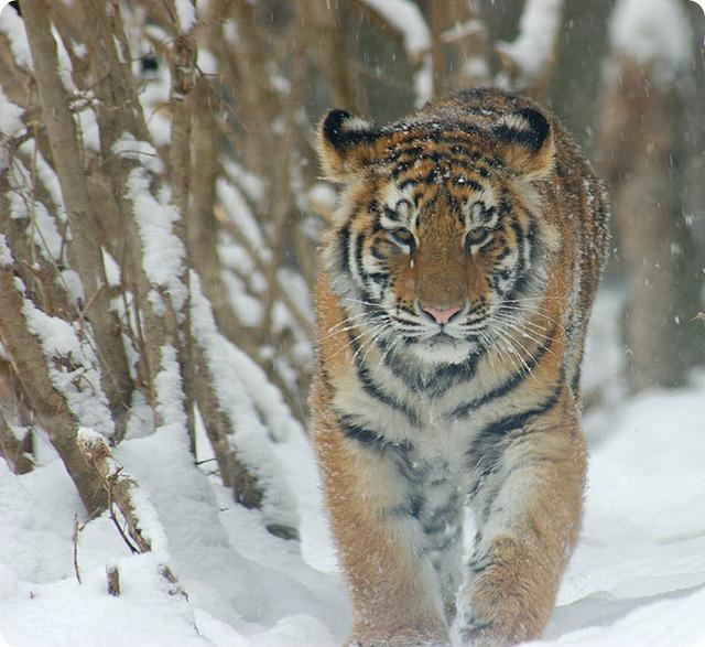 tigre_siberiana1