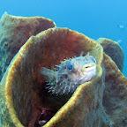 Puffer (Lembeh Strait)