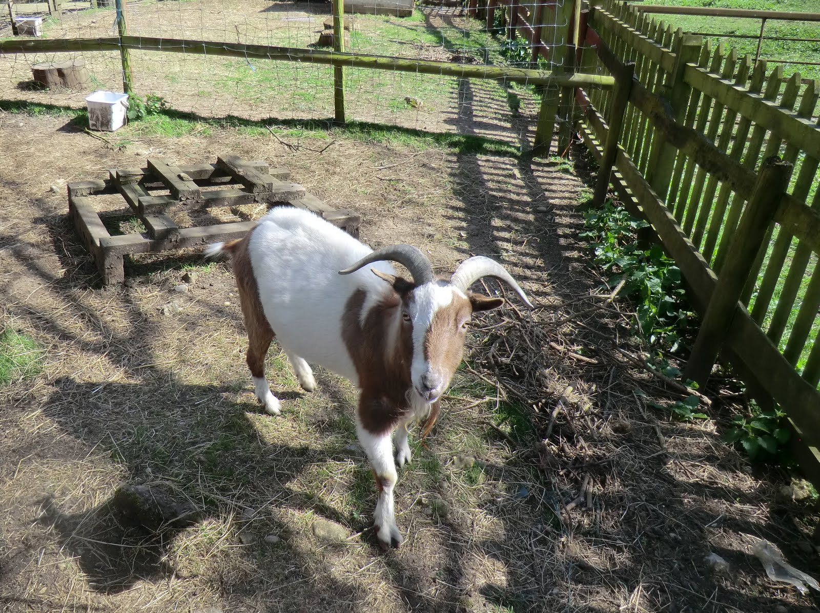 CIMG7600 Friendly goat at Chelsham Court Farm
