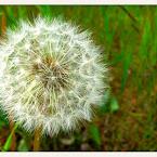 20120604-01-dandelion-ball.jpg