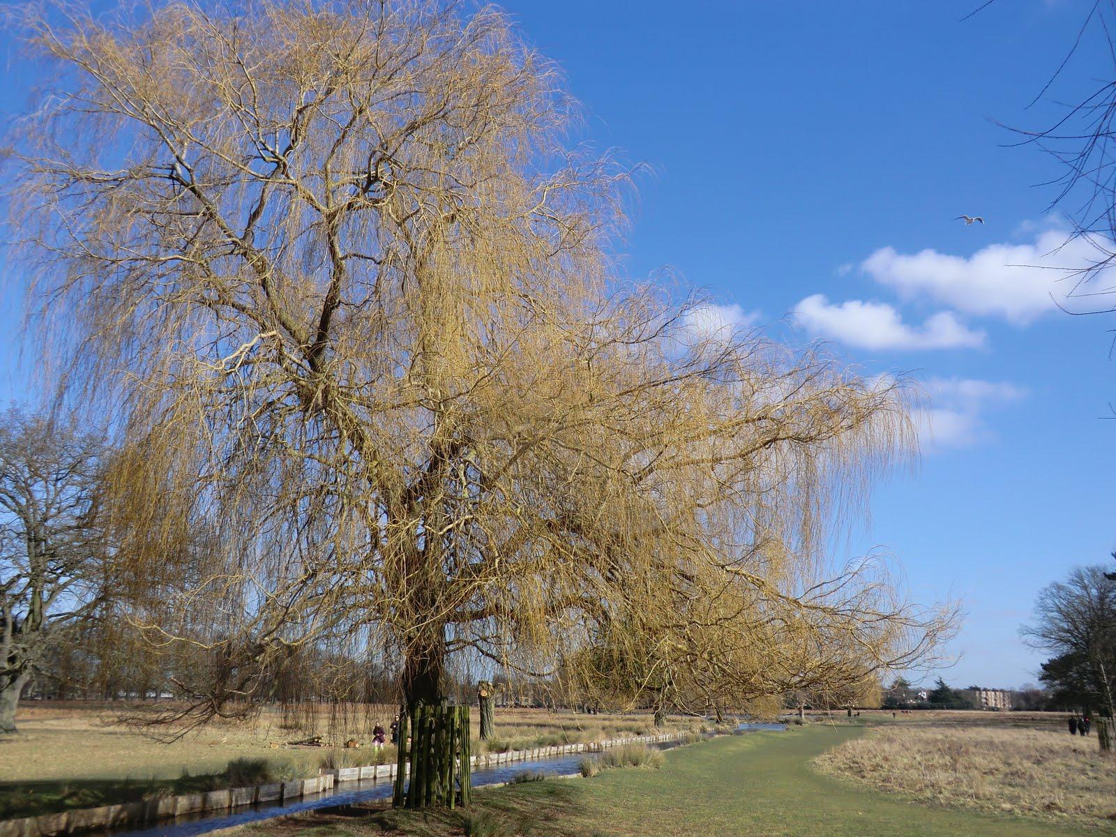 CIMG6720 Willow trees in winter, Bushy Park