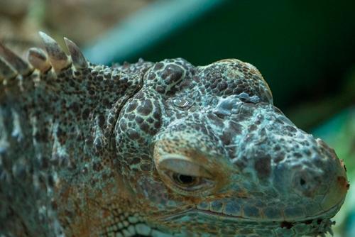 dikenal dengan struktur kokoh dan kulit kendor di sekitar leher dan duri mereka Astaga Telur Iguana Dijadikan Makanan? Yah benar.. Dan Masih ada banyak Fakta wacana Iguana Lainnya disini..