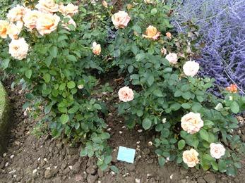 2017.08.10-041 la roseraie des vivaces
