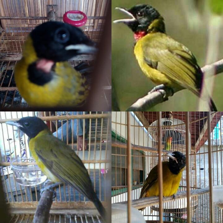 Samyong Samyong Burung 1001 Suara