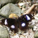 Hypolimnas bolina bolina LINNAEUS, 1758. Sepilok, 11 août 2011. Photo : J.-M. Gayman