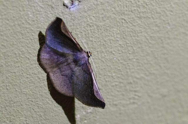 Sphacelodes vulneraria (Hübner, 1823). Santa Fe (Veraguas, Panamá), 18 octobre 2014. Photo : J.-M. Gayman