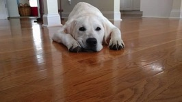 A white Labrador Retriever laying on a hardwood floor