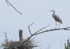 Heron Colony at Libby Hill-004.JPG