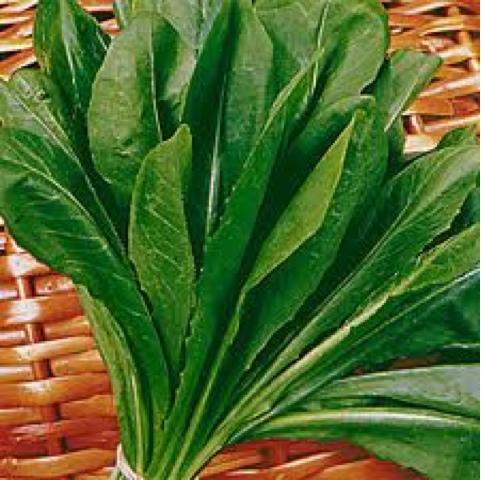 avidaquer, Cichorium intybus intybus, chicória-comum, Asteraceae, chicória, almeirão, alface, rico em proteínas, envelhecimento, estimular o apetite,