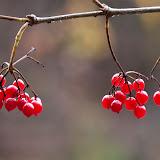 Highbush-Cranberry_MG_2345-copy.jpg