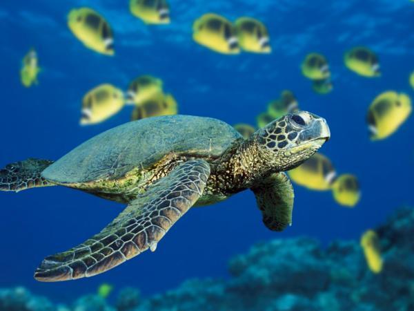 Green Sea Turtle, Beautiful Places 1