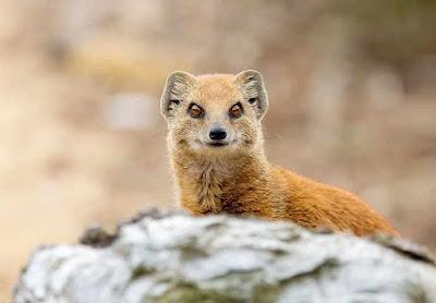 नेवला से जुड़े तथ्य | Mongoose Facts In Hindi