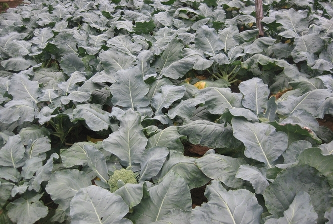 Kinh nghiệm trồng Súp Lơ xanh - 56a86e75de028