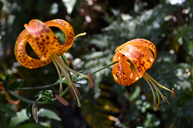Humboldt lilies