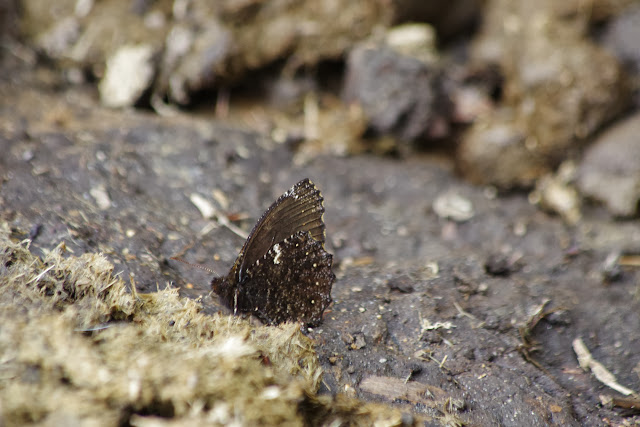 Steremnia selva selva ADAMS, 1986. Cuellaje, 2000 m (Imbabura, Équateur), 10 décembre 2013. Photo : J.-M. Gayman
