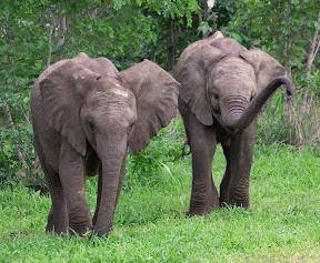 Elephant Babies, Botswana
